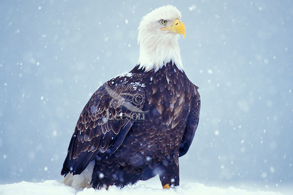 Bald Eagle (Haliaeetus leucocephalus) during snowstorm.