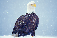 Bald Eagle (Haliaeetus leucocephalus) during snowstorm.