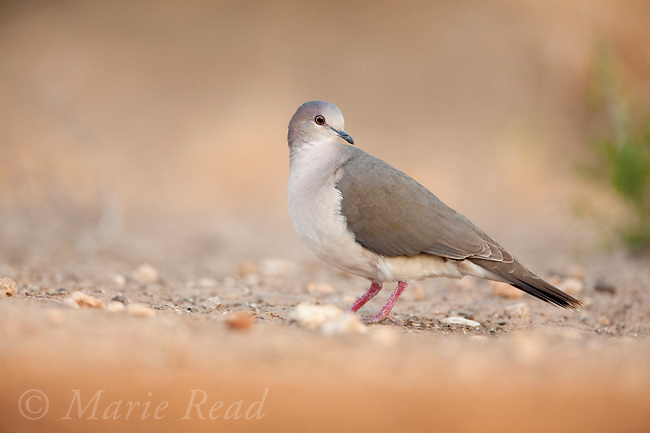 WhIte-tipped Dove (Leptotila verrauxi), Santa Clara Ranch, Rio Grande Valley, Texas, USA