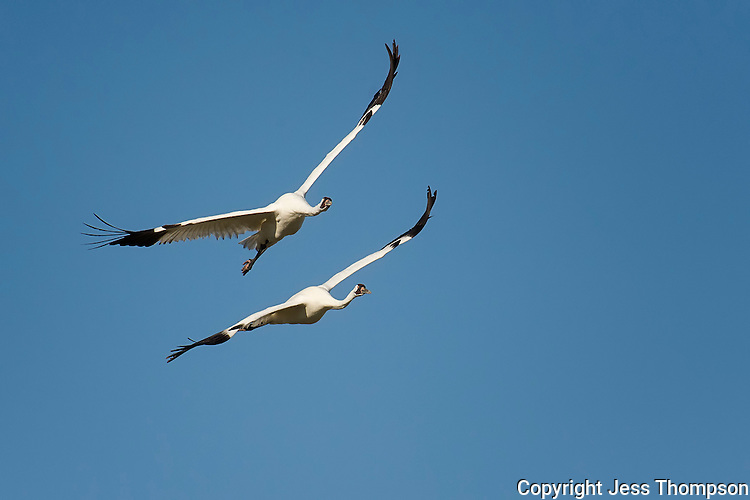 Whooping Cranes in flight.