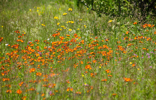 Orange flowers in mountain meadow, Galusha Hill, VT