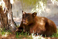 GRRRR, CINNAMON RED BLACK BEAR CUB<br /> IN THE COOL SHADE