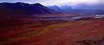 A grizzly walks near Thorofare Pass among the fall color of the tundra in Denali National Park, Alaska.