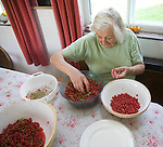 Senior adult woman sitting down processing fresh red currants in a kitchen, UK