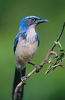 551180013 a wil western scrub jay aphelocoma californica perches on a dead tree  limb in los angeles county california