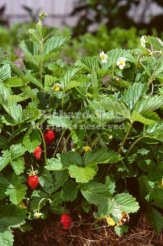2461-CQ Woodland Strawberry, Fragaria vesca `Alexandria' at Minnesota Landscape Arboretum.