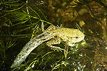 Green Frog pollywog, Rana, clamitans, melanota, with developing legs, Rana, clamitans, melanota,