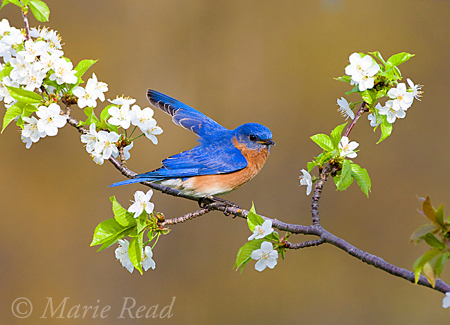 Eastern Bluebird (Sialia sialis), male giving wing-wave display, perched amid cherry blossom in spring, New York, USA