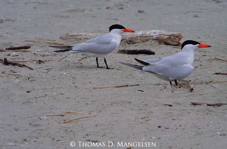 Two caspian terns stand in the sand on the beach in the Gulf of Mexico.