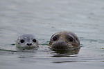 Harbor Seal (Phoca vitulina) mother and pup, Elkhorn Slough, Monterey Bay, California