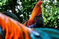 A cockfighting rooster sits on the branch in the breeding station in Cucuta, Colombia, 29 April 2006. Cockfight is a widely popular and legal sporting event in Colombia. People take advantage of cock's natural, strong will to fight. Birds are specially trained to increase their aggression, stamina and to improve their fighting techniques. They are given the best of food, care and sometimes even a doping, basically in the same way like professional athletes are. Brave cocks are highly treasured. If a fighting cock wins certain number of matches breeders keep him for reproduction and do not let him fight anymore.