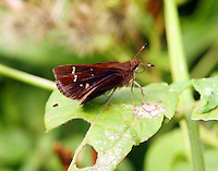 Female clouded skipper