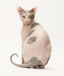 Sphynx Cat - Male, Blue & White, 3 1/2 years old