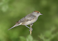Blackcap - Sylvia atricapilla - female