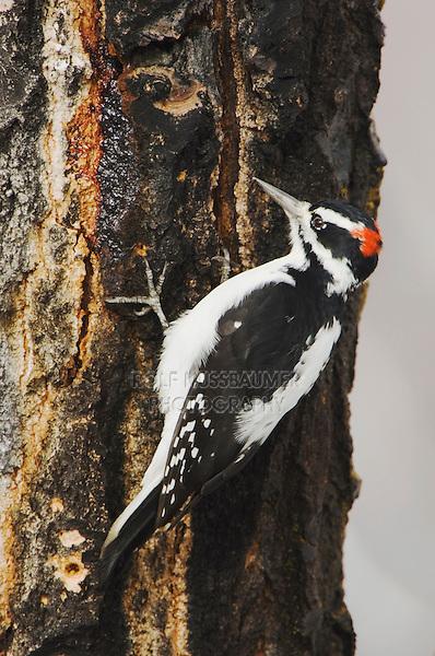 Hairy Woodpecker, Picoides villosus, male on aspen tree, Grand Teton NP,Wyoming, September 2005