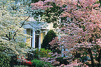 Flowering Dogwood Trees and House Entrance, Moorestown, New Jersey