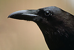 Common raven, Arizona