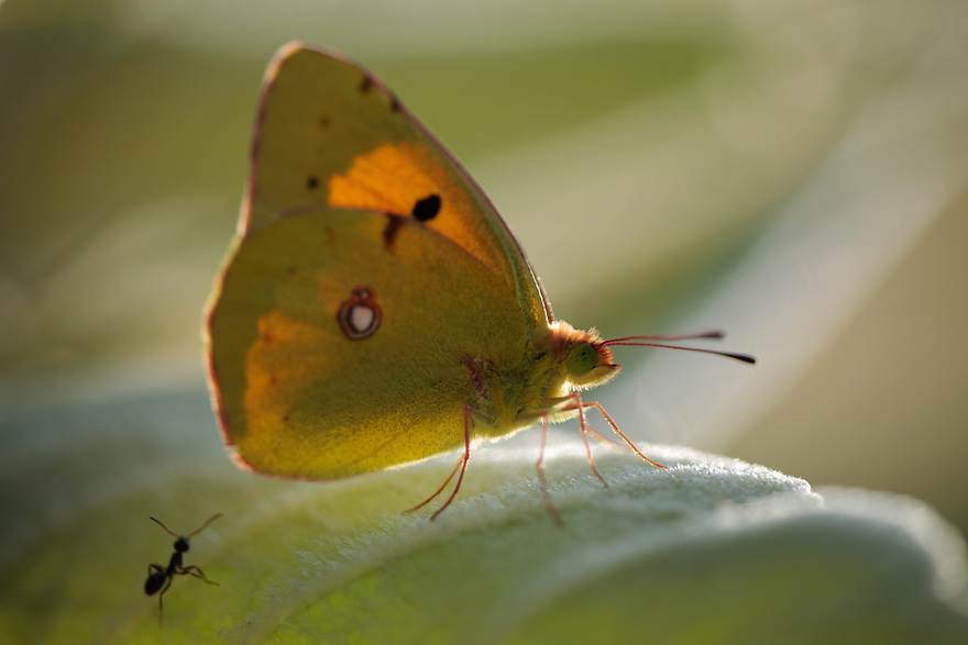 Clouded Yellow butterfly, Colias croceus. Stenje region, Lake Macro Prespa (850m) <br /> Galicica National Park, Macedonia, June 2009<br /> Mission: Macedonia, Lake Macro Prespa /  Lake Ohrid, Transnational Park<br /> David Maitland / Wild Wonders of Europe