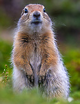 USA, Alaska, Katmai National Park, Arctic ground squirrel (Urocitellus parryii)