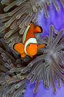 A Western or false clownfish Amphiprion ocellaris in a purple host anemone, East of Eden. The Similan islands, Andaman Sea, Indian Ocean, Thailand, Asia
