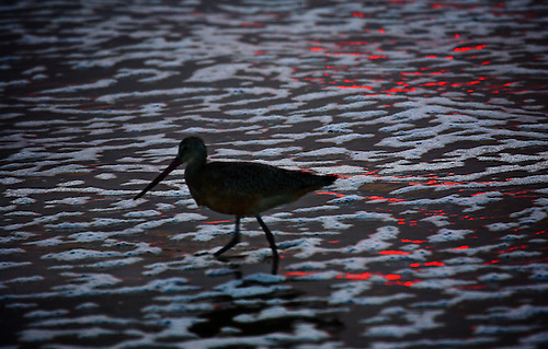 Light from a setting sun reflects on a beach and sandpiper along the Pacific Ocean in California