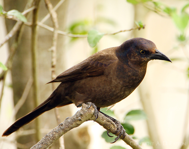 Adult female common grackle