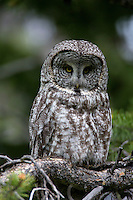 This female Great Gray owl is a brown morph, with the heart shaped facial surround and the white bow tie, she is still unmistakeably a Great Gray.