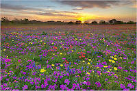 This field of bluebonnets and colorful Texas wildflowers comes from New Berlin, a well known stop for wildflower enthusiasts. In 2014, the field did not disappoint. This landscape looks across the field at sunrise and is just a glimpse of the purples, yellows, reds, and blues that stretched to the horizon.