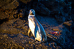 A penguin standing on lava rock on Sombrero Chino and the Bainbridge Islets, Galapagos National Park, Galapagos, Ecuador