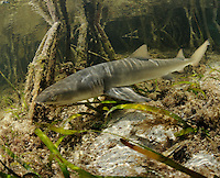 qa32851-D. young Lemon Shark (Negaprion brevirostris) swims among roots of mangroves. Bahamas, Atlantic Ocean..Photo Copyright © Brandon Cole. All rights reserved worldwide.  www.brandoncole.com..This photo is NOT free. It is NOT in the public domain. This photo is a Copyrighted Work, registered with the US Copyright Office. .Rights to reproduction of photograph granted only upon payment in full of agreed upon licensing fee. Any use of this photo prior to such payment is an infringement of copyright and punishable by fines up to  $150,000 USD...Brandon Cole.MARINE PHOTOGRAPHY.http://www.brandoncole.com.email: brandoncole@msn.com.4917 N. Boeing Rd..Spokane Valley, WA  99206  USA.tel: 509-535-3489