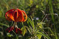 Lilium michiganense is a species of true lillies which grows in prairie habitats.