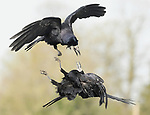 Pictured: A pair of rooks fighting<br /> <br /> Birds repeatedly battle in the air, screeching and clawing at each other as they fight over food.  The air above a small bird feeder in a British garden is almost a constant scene of war as jackdaws, magpies, rooks, and starlings conduct a series of aerial duels.<br /> <br /> The battling birds were pictured over the back garden of computer programmer Alex Appleby's home in Hatfield Peverel, Essex.   SEE OUR COPY FOR DETAILS.<br /> <br /> Please byline: Alex Appleby/Solent News<br /> <br /> © Alex Appleby/Solent News & Photo Agency<br /> UK +44 (0) 2380 458800