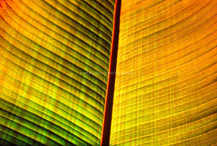 Backlit Banana Tree leaf reveals amazing colors and patterns. Photographed at Santa Barbara Zoological Gardens, Santa Barbara, CA.