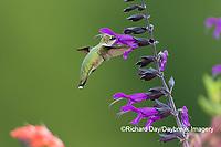 01162-15217 Ruby-throated Hummingbird (Archilochus colubris) on Purple Majesty Salvia (Salvia guaranitica 'Purple Majesty') Marion County, IL