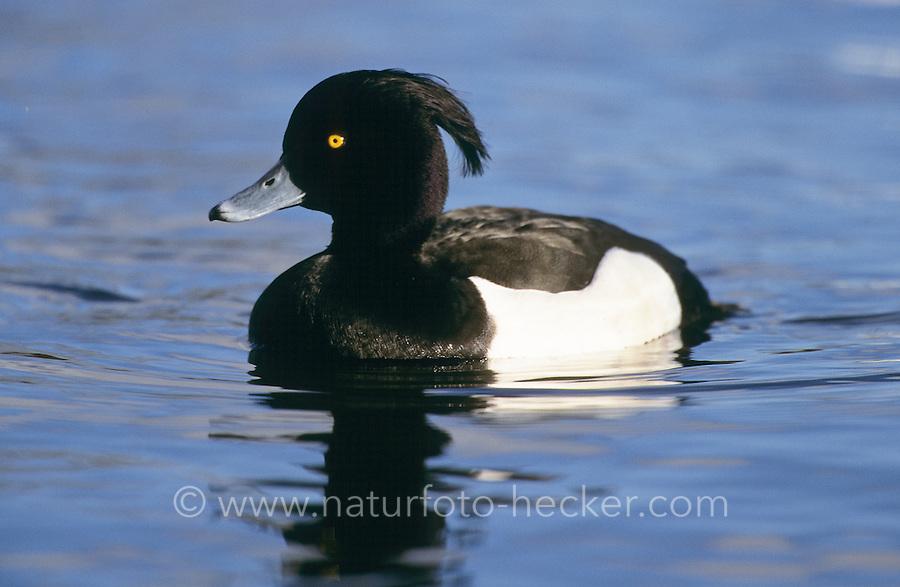 Reiherente, Männchen, Erpel, Reiher-Ente, Aythya fuligula, tufted duck