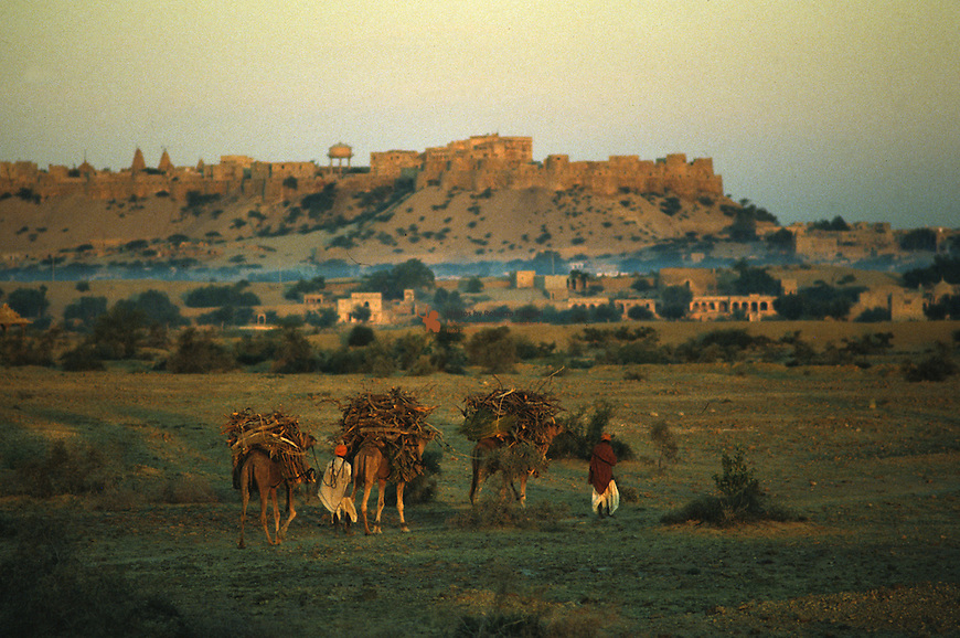 Farmer transporting home firewood by camels