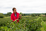 Pictured: Blackcurrant grower Jo Hilditch inspects a branch from the new climate-resiliant 'Ben Lawes' crop during the annual UK blackcurrant harvest that produces around 10,000 tonnes of blackcurrants for Ribena.<br /> <br /> For the first time ever a ground-breaking new crop of berries that have been bred to cope with Britain's changing climate named 'Ben Lawes' are being harvested at Whittern Farm in Lyonshall, Herefordshire.<br /> <br /> In partnership with Ribena Lucozade Suntory, 20 years of research has gone into growing these new crop of berries that can withstand the ever changing UK temperatures. <br /> <br /> © Solent News & Photo Agency<br /> UK +44 (0) 2380 458800