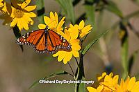 03536-05018 Monarch butterfly (Danaus plexippus) on Butterweed (Senecio glabellus) Prairie Ridge State Natural Area, Marion Co., IL