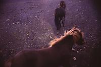 ISLANDA: paesaggio naturale:  bellissimi cavalli islandesi in libertà.