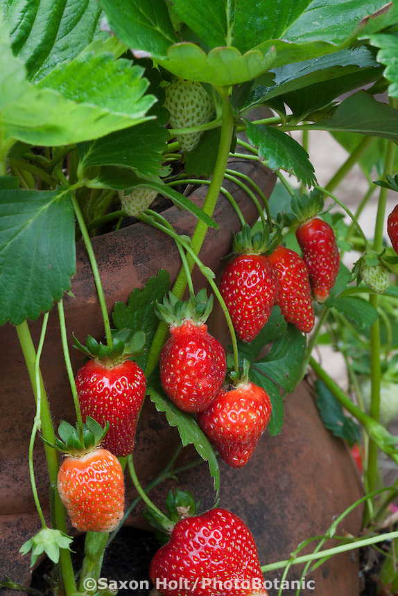 Red, ripe strawberries 'Chandler', in terra cotta strawberry jar container