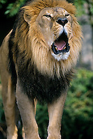 African lion (Panthera leo) male roaring.