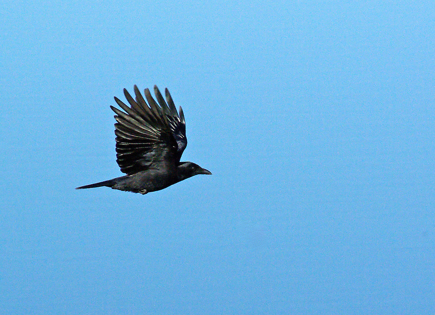 American crow in flight, Little Rock, Arkansas. Photographer: Keith Sutton