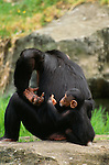 Adult and baby chimpanzees