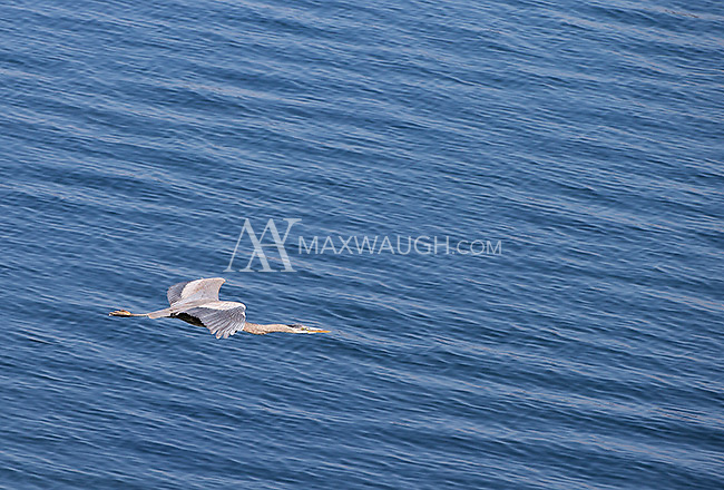 A great blue heron soars over Yellowstone Lake.