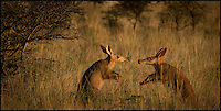 BNPS.co.uk (01202 558833)<br /> Pic: CameronPearce/BNPS<br /> <br /> ***Please use full byline***<br /> <br /> This is the amusing moment two short-sighted aardvarks almost bumped heads as they tried to sniff the other one out.<br /> <br /> The nocturnal creatures are rarely spotted in the day but had both woken up from their sleep and were snuffling around in tall grasses for food.<br /> <br /> After hearing each other's movements the animals used their acute sense of hearing and smell to walk closer, but ended up almost crashing into one another.<br /> <br /> The pair of unusual creatures, who can see no further than the end of their noses, then stood up on their hind legs and greeted one another.<br /> <br /> The moment was captured on camera by amateur photographer Cameron Pearce, at the Tswalu Kalahari reserve in South Africa, who was watching the encounter from a van.<br /> <br /> His photographs are incredibly rare because it is almost unheard of to photograph two aardvarks in the same picture due to their secretive nature and nocturnal habits.