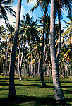 Grove of palm trees on the beach, San Juan, Puerto Rico, USA