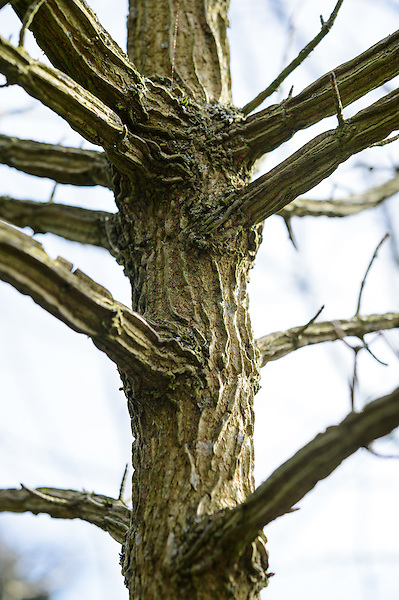 Bark of Acer Campestre (Field Maple)