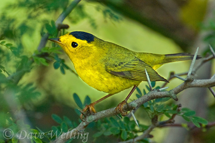 59237009 a wild male wilson's warbler cardinella pusilla - was dendroica pusilla - perches on a small tree branch on south padre island cameron county texas united states