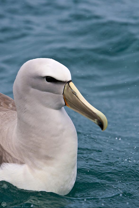 New Zealand, South Island, Kaikoura Coast. Salvin's Albatross