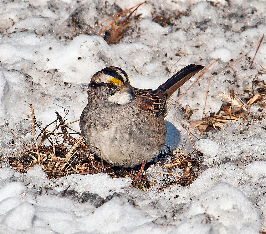 White-throated sparrow seen in Croton Point Park, Croton-on-Hudson, NY